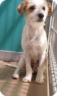 Bryan, TX - Terrier (Unknown Type, Medium). Meet JONATHAN, a puppy for adoption. http://www.adoptapet.com/pet/15256274-bryan-texas-terrier-unknown-type-medium