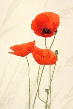 'Mohnblüten ' von Rosina Schneider bei artflakes.com als Poster oder Kunstdruck $16.63