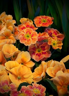 Primrose flowers are pretty and can make a sophisticated name