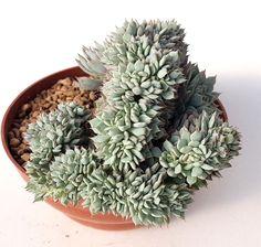 echeveria cuspidata zaragoza crested Pot15cm RNYY YN /no ariocarpus copiapoa | eBay