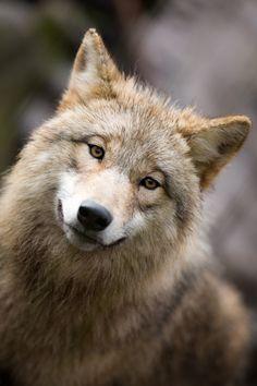 Wolf Portrait by Stefan Jaroszewski