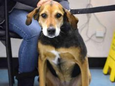 SUPER URGENT 01/06/15 Staten Island Center EVE - A1024868 SPAYED FEMALE, BLACK / BROWN, LABRADOR RETR MIX, 9 yrs OWNER SUR - EVALUATE, NO HOLD Reason PERS PROB Intake condition EXAM REQ Intake Date 01/06/2015, From NY 10312, DueOut Date 01/06/2015, Medical Behavior Evaluation GREEN Medical Summary Scan negative BARH AMBx4 Friendly,allowed handling Spayed~9yrs Mild gingivitis/tartar Old injury to tail (tail is crooked) EENT:WNL No fleas seen Nosf Weight 62.0 For more information on ...