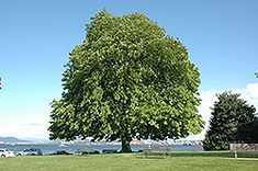Click to view full-size photo of Horse Chestnut (Aesculus hippocastanum) at Plant World
