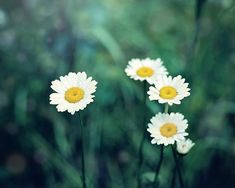 Wild Daisies - Nature Photo for your Country Decor - Daisy Photo for your Country Home Decor – Rustic Country Wall Decor - Farmhouse Wall Art, Farmhouse Kitchen Decor, Farmhouse Ideas, Yellow Country Kitchens, Home Decor Rustic Country, Country Living, Fade Up, Breath Of Fresh Air, Daffodils