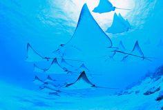 "Ocean, fish, ray  ""BLUE FOCUS""  by Takaji Kobayashi 静岡県  作品サイズ: A3ノビ、3枚組作品  使用プリンター: エプソン「PX-G5000」   使用用紙: エプソン「写真用紙クリスピア<高光沢>」  使用カメラ: Nikon NIKONOS RS    海に暮すユニークな生き物にフォーカスしました。  澄み渡る青い光の中を泳ぐ姿はとてもドラマチックです。フィッシュアイレンズで撮影しています。"
