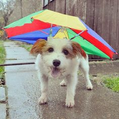 Pin for Later: Meet Instagram's Happiest Dog: Ginny! Who Cares If It's Raining? Dreary days don't get this pup down. Source: Instagram user ginny_jrt