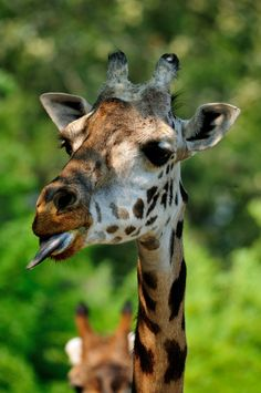 Masai Giraffe taunting kids..na na na na na