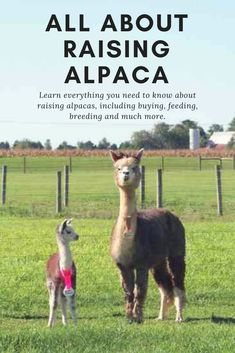 Exotic-looking alpacas make an intelligent and inquisitive addition to the farm.