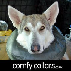 "Kara wearing her Comfy Collar Size 4... ""I can't thank you enough for the fast delivery of your fantastic Comfy Collar. This is the 1st time that Kara my Northern Inuit has not looked stressed after an operation. The old Elizabethan collars (which Kara truly disliked) will never again be used on any of my dogs."" ...by Doreen"