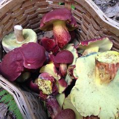 Fungi | smugtownmushrooms:   Baskets of Bicolor Boletes   ...