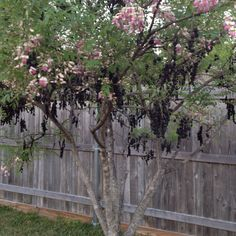 My favorite tree in the yard. It's called Eve's Necklace for the black seed pods and is a native Texas tree. It's blooming right now!