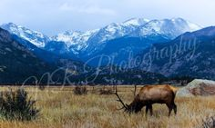Colorado animal photography! My photography! More on my facebook page www.facebook.com/nrphotography4 :) Email me at nrphotography4@yahoo.com for info about photoshoots and more. Check out my new website www.nrphotography4.com! #photography #animal #colorado #elk Elk, Animal Photography, Colorado, Photoshoot, Facebook, Website, Nature, Travel, Animals