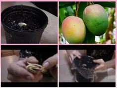Growing Mangos From Seed - How to plant a mango seed and grow a mango tree - YouTube