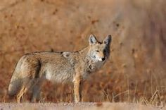 new mexico coyote - - Yahoo Image Search Results