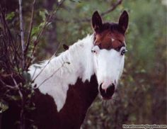 Medicine Hat Stallion | Discuss Is She a Medicine Hat? at the Critique My Horse forum - Horse ...