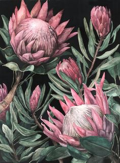 King Proteas on Dark Background - art - Wallpaper Protea Art, Protea Flower, Flower Backgrounds, Dark Backgrounds, Botanical Drawings, Botanical Illustration, Botanical Flowers, Botanical Prints, Deco Luminaire