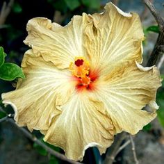 Rare Light Yellow Gray Orange Hibiscus Seeds Giant Dinner Plate Fresh Flower Garden Exotic Hardy Flowering Perennial Tropical 185 by ToadstoolSeeds on Etsy