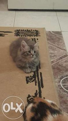 4 kittens for sale persian ,maincoone and siamese Durban • olx.co.za