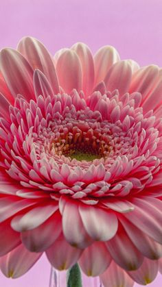 Gerbera, flower, pink, close up, 720x1280 wallpaper