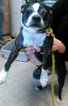 Neccog Animal Services Page Liked · November 21 · Edited ·    *UPDATE, OWNER LOCATED*  *FOUND DOG* Female, Boston Terrier, black and white. Found roaming in the vicinity of Woodside St, Putnam. Please call 860-774-1253.