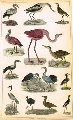 "Antique Bird Print - Goldsmith - ""FLAMINGO, SPOONBILL, CRANE"" - Hand Colored Engraving - c1850"