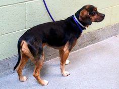 SAFE --- Manhattan Center   TIGER - A1021614  MALE, BLACK / TAN, BEAGLE MIX, 7 yrs OWNER SUR - EVALUATE, NO HOLD Reason LLORDPRIVA  Intake condition EXAM REQ Intake Date 11/25/2014, From NY 10468, DueOut Date 11/25/2014  https://www.facebook.com/photo.php?fbid=912333108779569