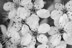 Black and white Nature photography, cherry blossom photography instant download, black and white wall home decore, downloadable photo by ESTtoYouPhotography on Etsy