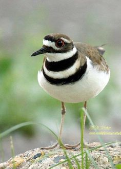 Male Killdeer(Charadrius vociferous) a shorebird. Killdeer are graceful plovers common to lawns, golf courses, athletic fields and parking lots. These tawny birds run across the ground in spurts, stopping with a jolt every so often to check their progress, or to see if they've startled up any insect prey.