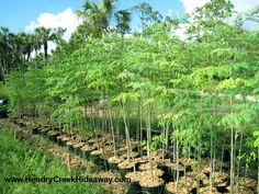 Moringa Miracle Tree of Life - tropical plant but possible to replant each spring from seeds and grow for fodder?