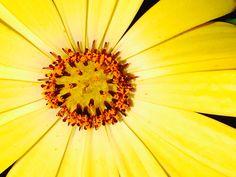 Kapmargeriten in voller Blütte