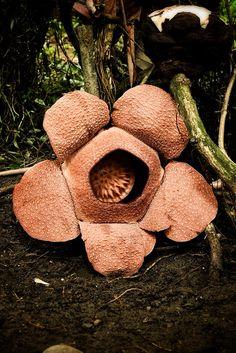 rafflesia   Flickr - Photo Sharing!