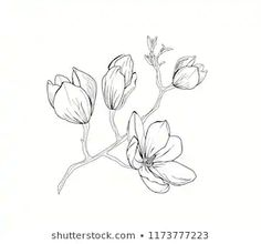 Find magnolia drawing stock images in HD and millions of other royalty-free stock photos, illustrations and vectors in the Shutterstock collection. Flower Line Drawings, Flower Drawing Tutorials, My Drawings, Floral Illustrations, Botanical Illustration, Stock Illustrations, Magnolia Paint, Magnolia Flower, Floral Drawing