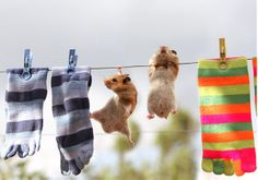 The hamsters were probably trying to get inside those cute socks.