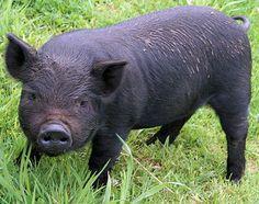 American Guinea Hog.