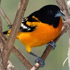 Former gallery of bird pictures submitted by photographers. Oriole Bird, Baltimore Orioles Baseball, Quack Quack, Migratory Birds, Different Birds, Big Bird, Bird Pictures, Cockatoo, Sports Fan Shop