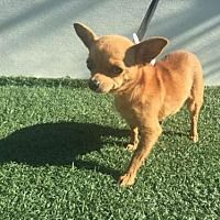URGENT*** Visalia, California - Chihuahua. Meet A189054, a for adoption. https://www.adoptapet.com/pet/20186572-visalia-california-chihuahua-mix
