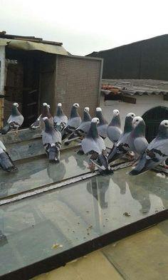 Racing Pigeon Lofts, Le Pigeon, Homing Pigeons, Palomar, Picsart, Pet Birds, Future House, Pakistan, Wings