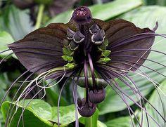 Black bat flower. Wow.