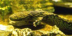 A beautiful Hellbender Salamander