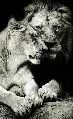 I'm obsessed with lion couple pictures. Couple Lion, Beautiful Cats, Animals Beautiful, Beautiful Mind, Beautiful Couple, Animals And Pets, Cute Animals, Nature Animals, Wild Animals