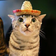 Cinco de Mayo Kitty! #NylahKitty