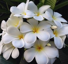 """Yellow Plumeria Pudica (inc. Everlasting Love).  We've been selling the white pudica (aka. Everlasting Love) for a number of years. The leaf of the Everlasting Love is like a spade shape at the end and is sometimes called """"the hammerhead"""". The flowers appear more fluffy than those of the rubra and the obtusa but are not fragrant. Like the Singapore white, the pudica flowers sometimes appear from a distance to be all white in bright sunlight."""