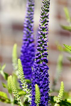 """The Minnesota Garden Veronica """"Sunny Border Blue."""" I'll include this in my yard (which will be filled with -hopefully- Minnesota native perennials)."""