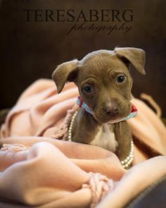 Meet Amari, a Petfinder adoptable Pit Bull Terrier Dog | McKinney, TX | Amari is new to our program, so it will take us a little time to get to know her and her...