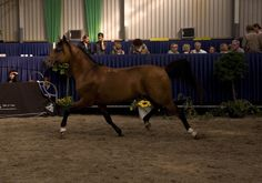 Biblion (RU) 1999 Bay Straight Russian stallion. Balaton {Menes x Panagia by Aswan} x Bulon {Naftalin x Brigantina by Menes} Bred by Tersk Stud, Russia. Sold in Tersk Holland Sale, NL in 2002 to Arabian Fantasie, NL. Owned by Marijke Sloke Soede, Maroud Arabians, NL