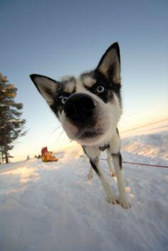 Husky on dog sled tour in Swedish Lapland