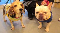 Mr.Simon, the French Bulldog, and Beagle friend