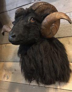Taxidermy head of a black ram - Shouldermounts Stuffed head. Hunting trophy animals. Taxidermy - De Jachtkamer