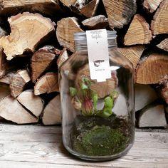 This #sarracenia in weck jar only needs your #love to survive. #growingconcepts #tent6 #wood #interieur #interior #design #plants #carnivorousplant #homeideas #homedecor #creative #terrarium #weckjar #jars #home #diy