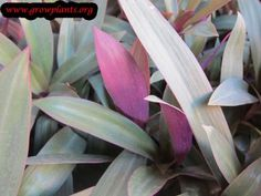 Tradescantia spathacea plant http://www.growplants.org/growing/tradescantia-spathacea